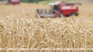 Зерновые в Беларуси убраны с 67,9% площадей