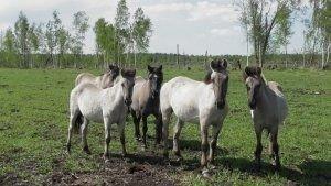 ТАБУН ЛЕТЯЩИХ ГРИВ. В Налибоках обитают дикие тарпановидные лошади